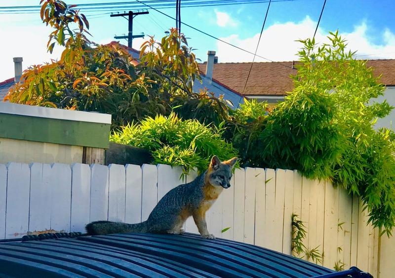 Cute fox spotted in Hillcrest